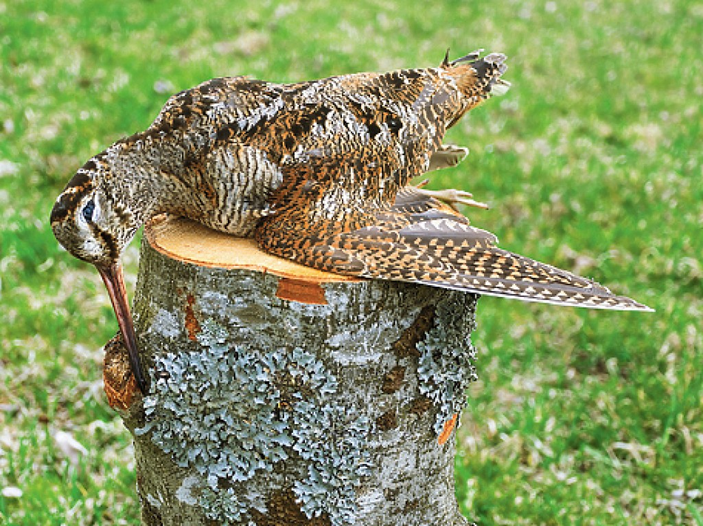 Woodcock flying